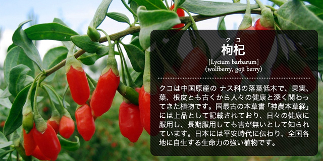 枸杞 クコ Lycium chinense wolfberry goji berry